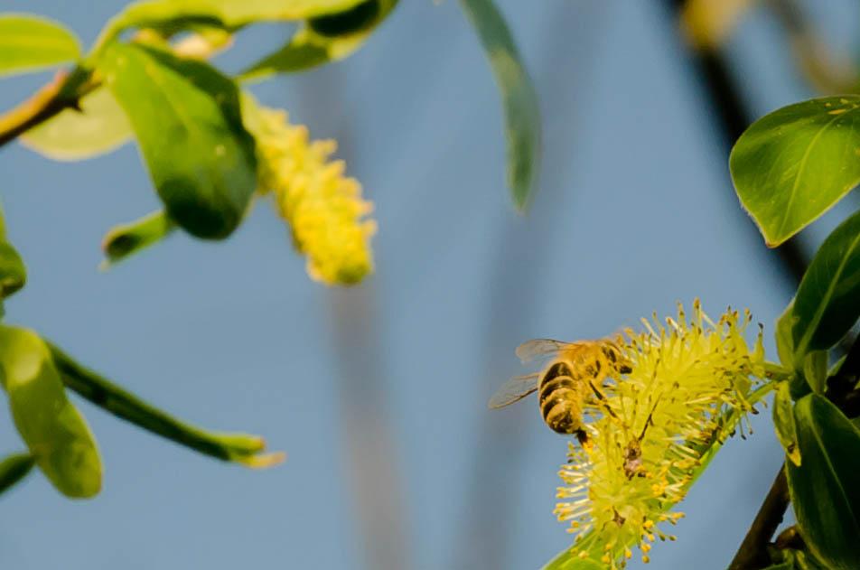 Frühlingsphoto mit Biene